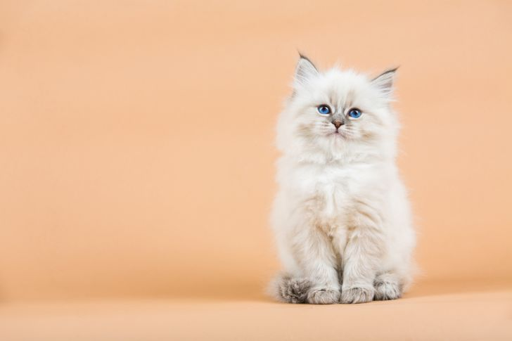 Portrait of a Siberian kitten against a peach colored background