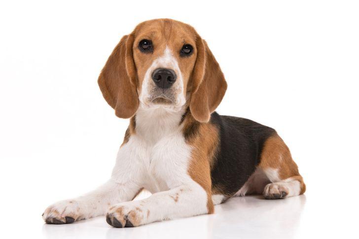 A beagle puppy
