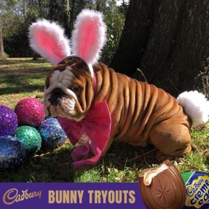 A bulldog in bunny ears