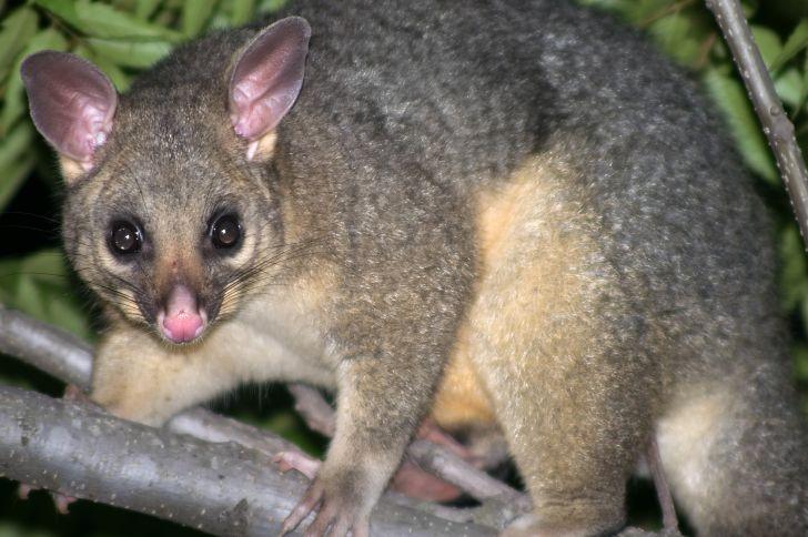 A brushtail possum