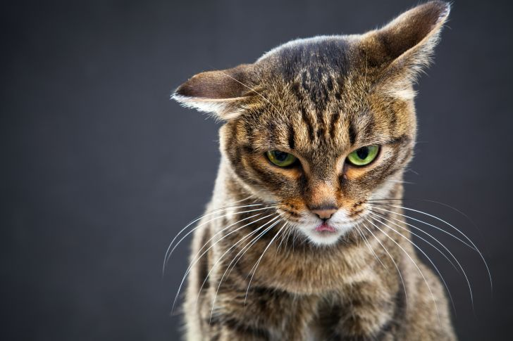 Tabby cat against a gray background