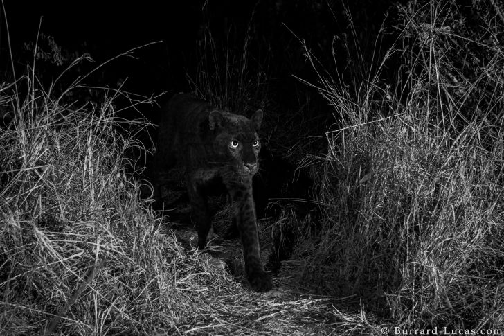 Black leopard at night