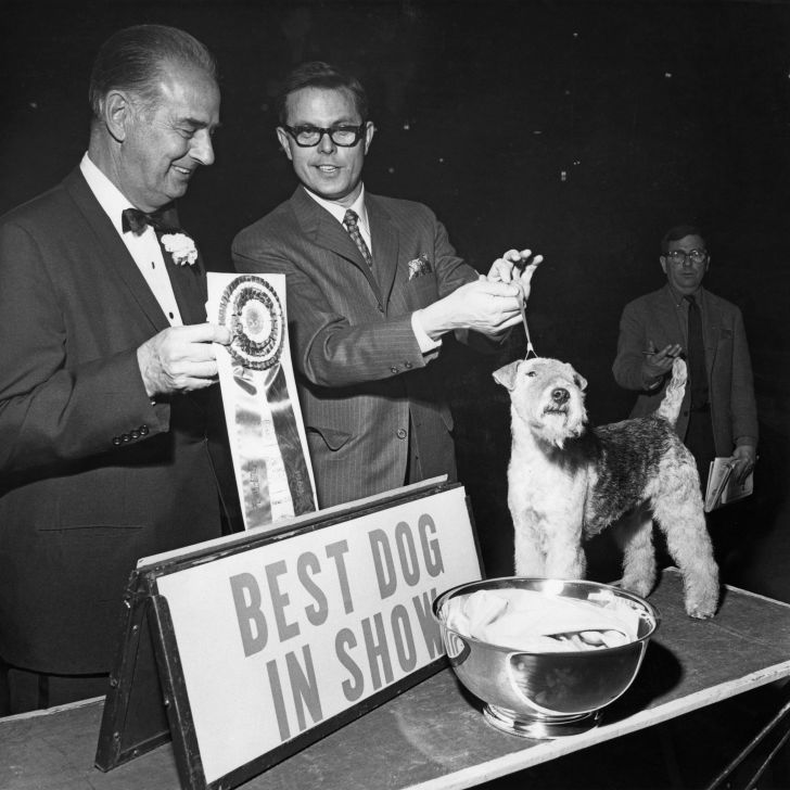 Champion Stingray of Derryabah, aka Skipper, a British Lakeland Terrier, wins Best In Show at the 92nd Westminster Kennel Club show at Madison Square Gardens, New York City, February 1968