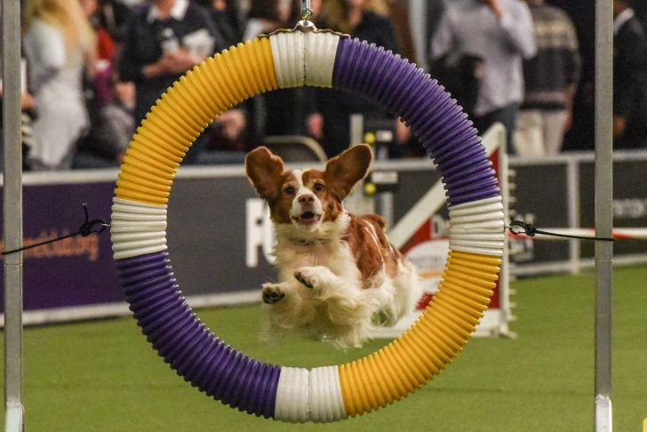 A dog competes in the Masters Agility Championship during the Westminster Kennel Club Dog Show in 2018.