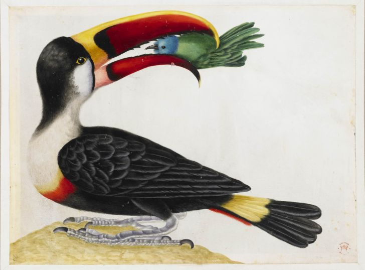 Painting of a toucan eating a smaller bird
