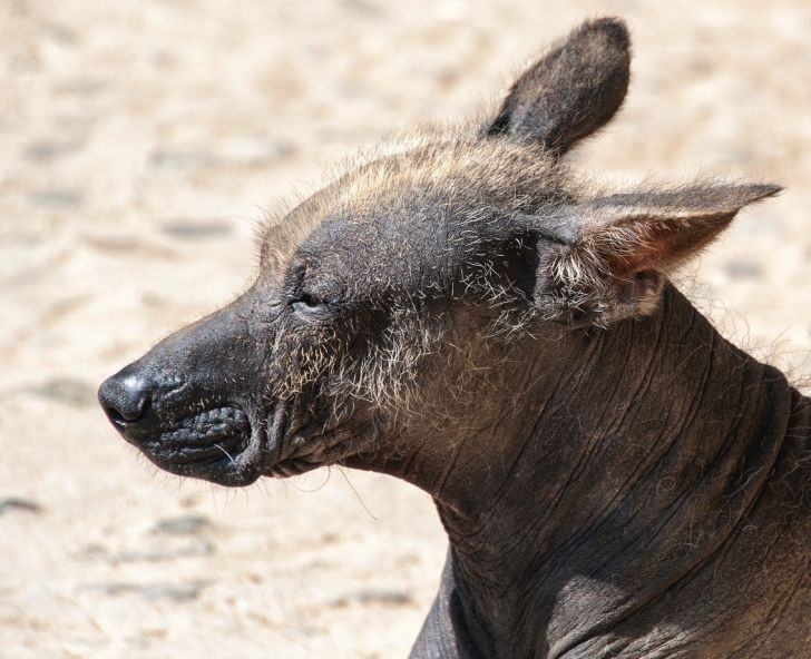 Photo of a Peruvian hairless dog