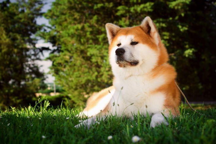 Akita dog in grass