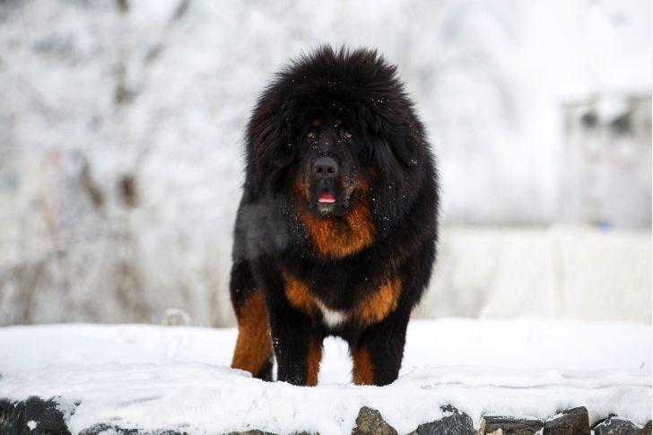 Beautiful Tibetan mastiff on the background of the winter landscape of nature