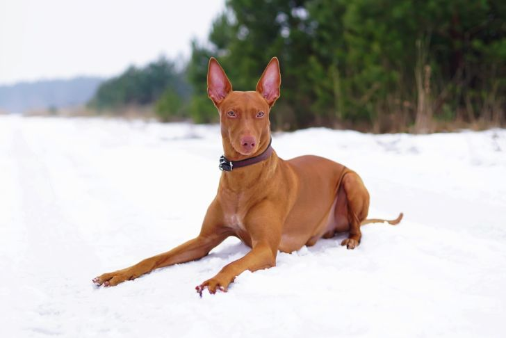 Pharaoh hound with a leather collar lying down on a snow in winter