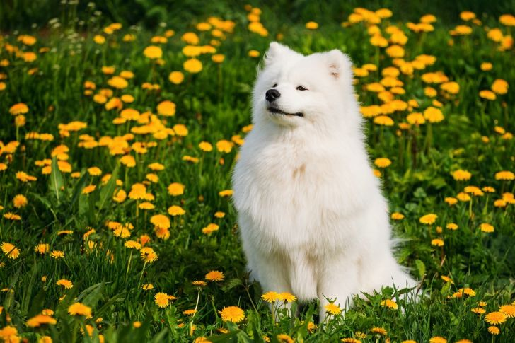 A Samoyed sits in a flower-filled field