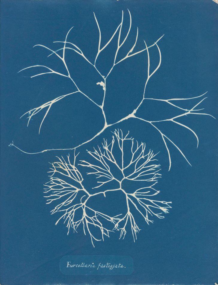 Anna Atkins, Furcellaria fastigiata, in Photographs of British Algae: Cyanotype Impressions