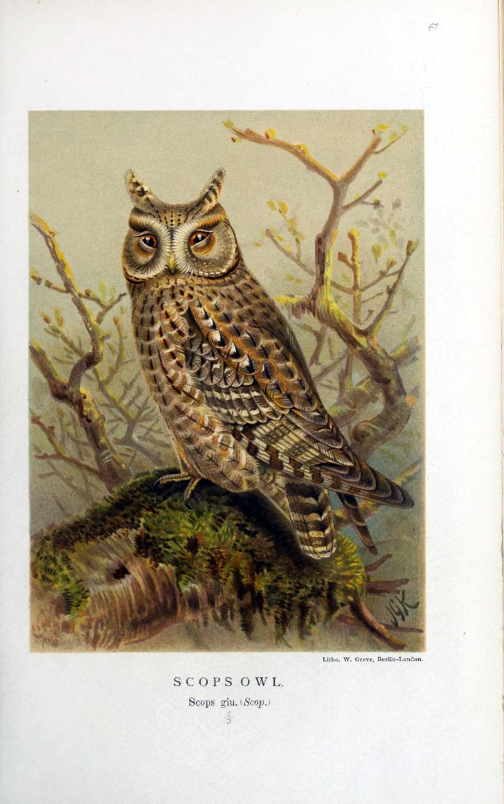 A Victorian illustration of an owl