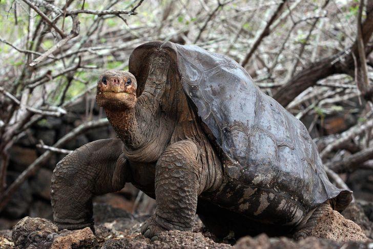 Lonesome George the Pinta Island tortoise.