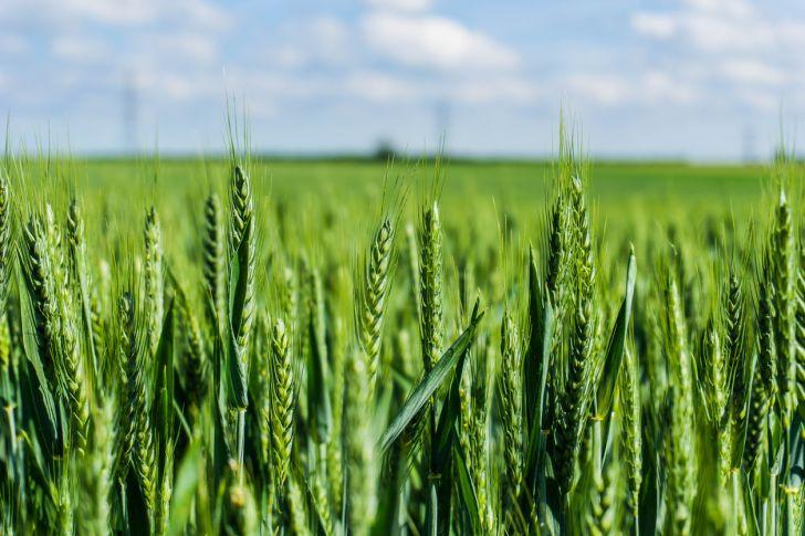 wheat crops growing in a field