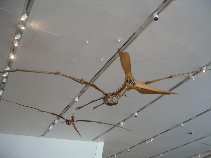 Male and female Pteranodon sternbergi