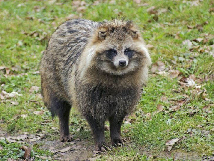 A tanuki dog resembles a raccoon
