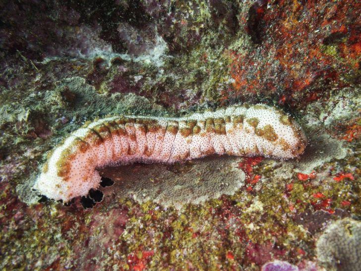 sea cucumber on coral reef