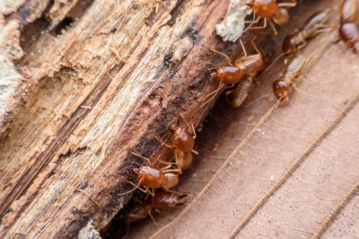 Termites eating rotten wood