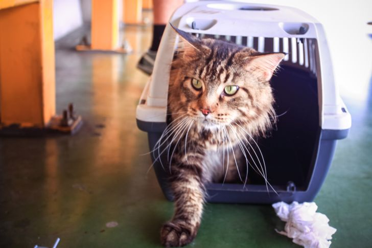 Maine coon cat stepping out of a carrier