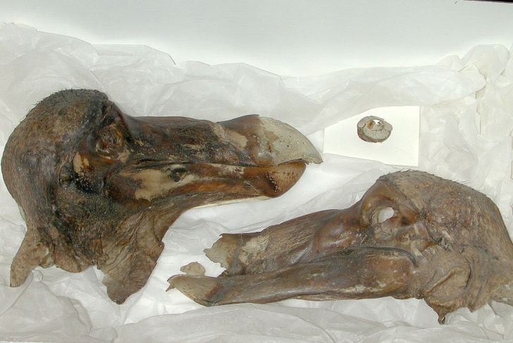 The Oxford University Dodo head with scoleric bone and the skin on one side removed.