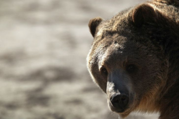 A grizzly bear appears at the Wild Animal Sanctuary in Keenseburg, Colorado