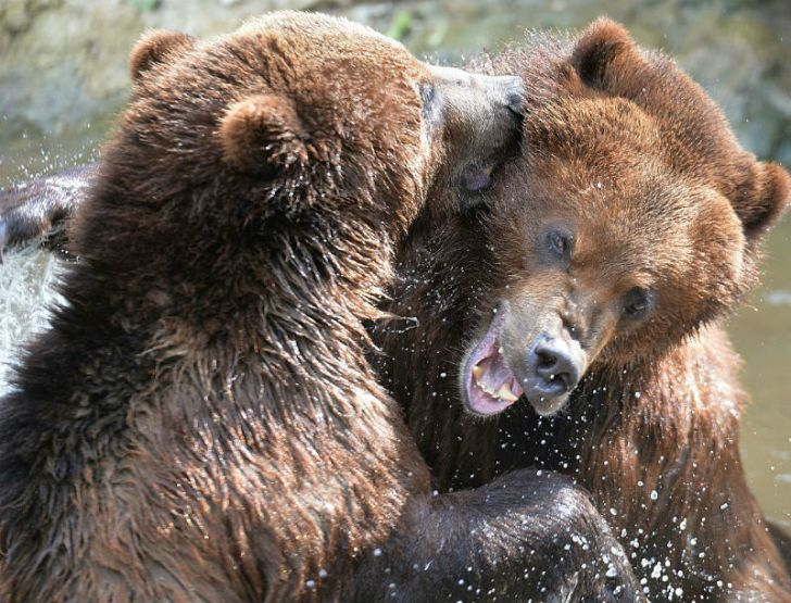 Two grizzly bears play in a pool at a zoo in France