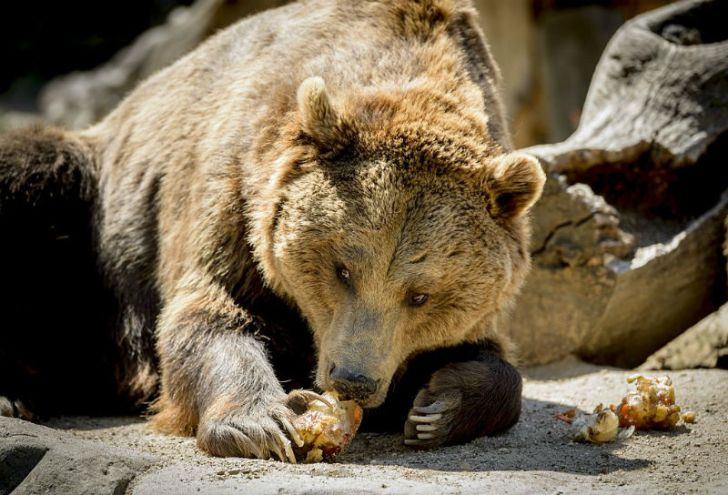 A grizzly bear eats fruit in Madrid, Spain