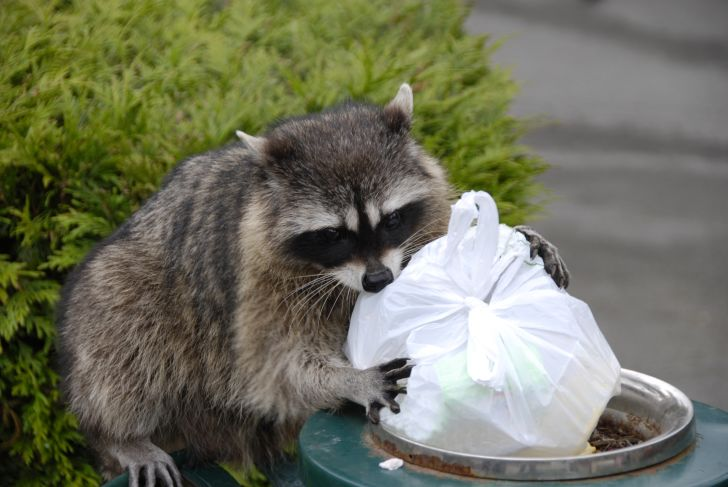 Raccoon scavenges for trash.