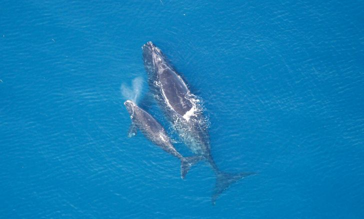adult and juvenile whales