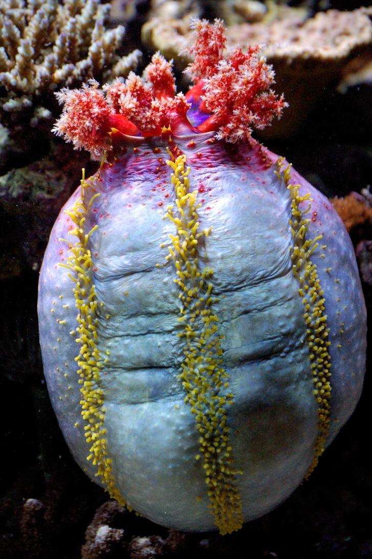 Sea apple (Pseudocolochirus axiologus) under water