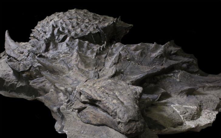 Closeup of a nodosaur fossil.