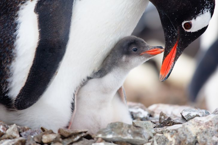 Penguin chick and parent on a nest