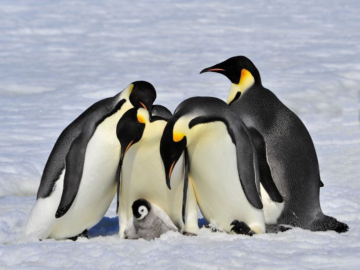 A group of emperor penguins and chick