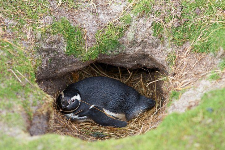 Magellanic penguin nesting in the ground