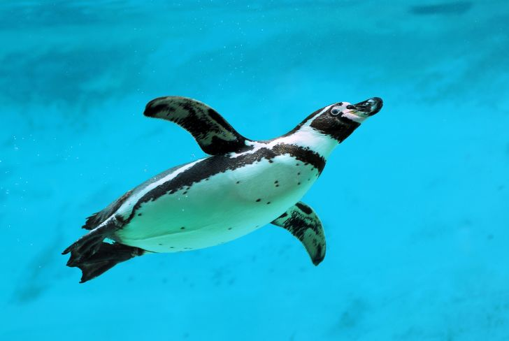 Penguin swimming in the ocean