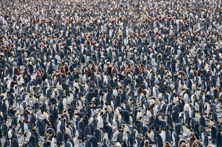 A colony of king penguins