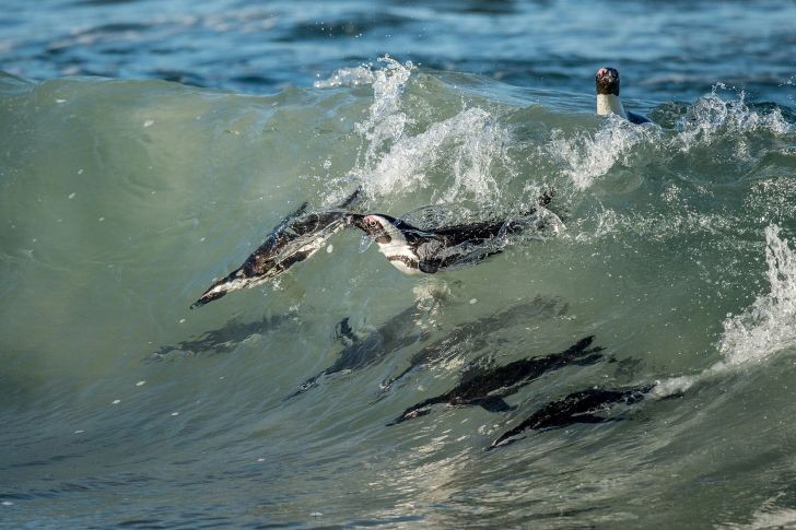 Penguins swimming in the ocean
