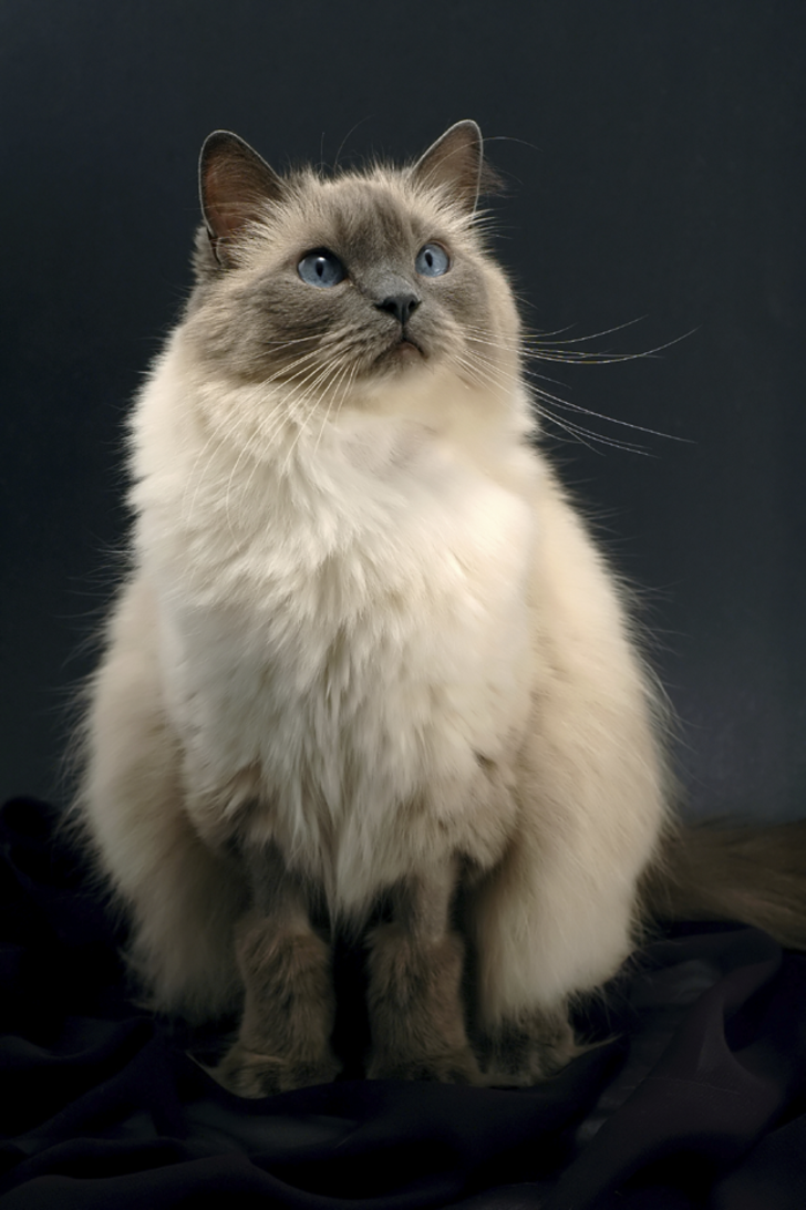 7 Facts About Ragdoll Cats Mental Floss