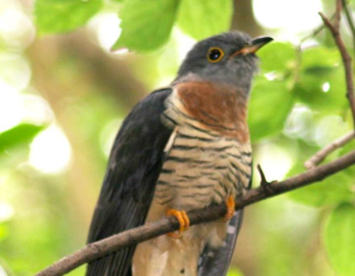 A piet-my-vrou bird