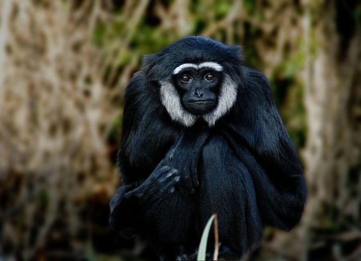 A wow-wow, or agile gibbon