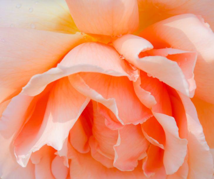A pale peach-pink rose