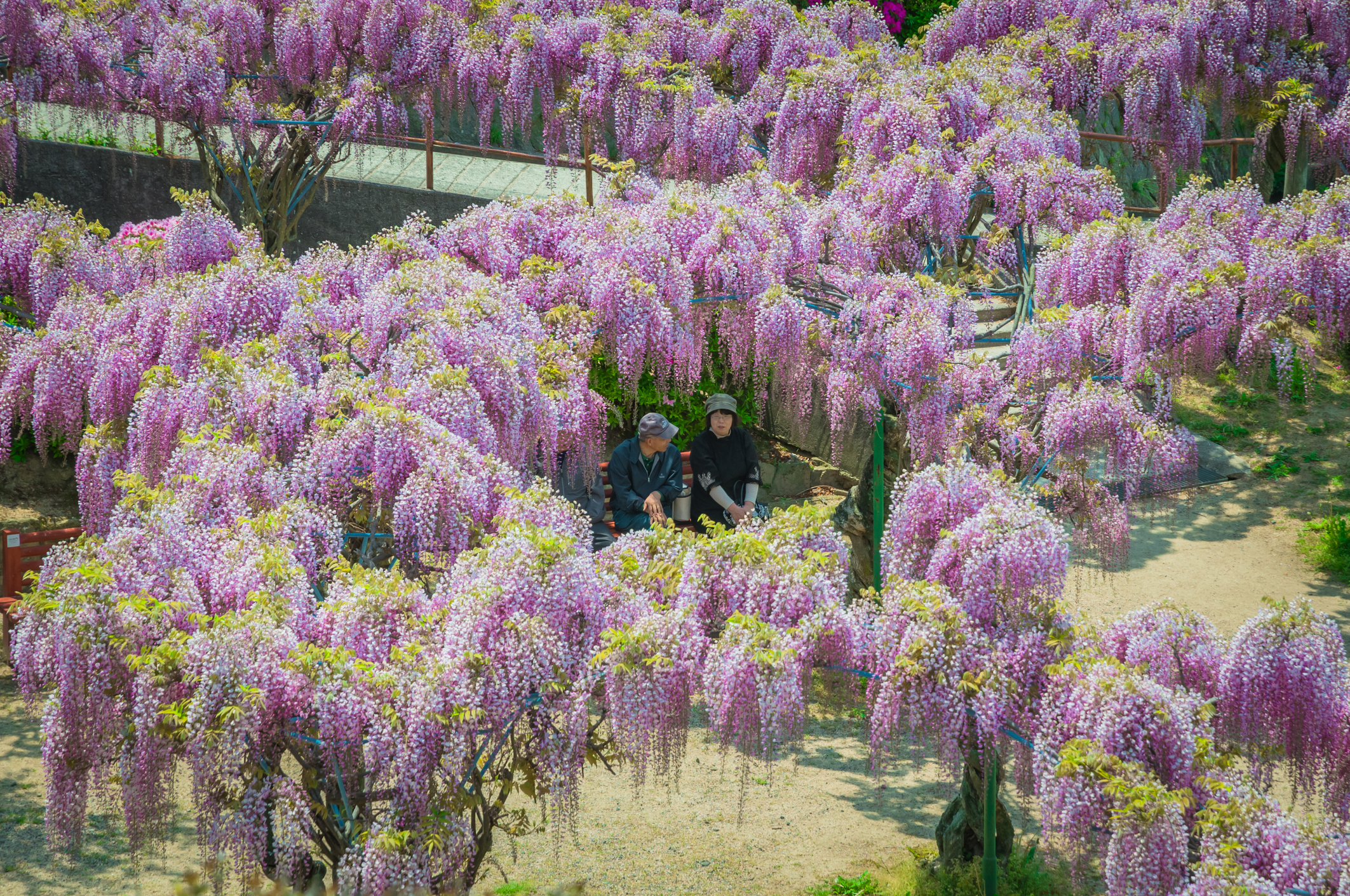 A park with wisteria in bloom