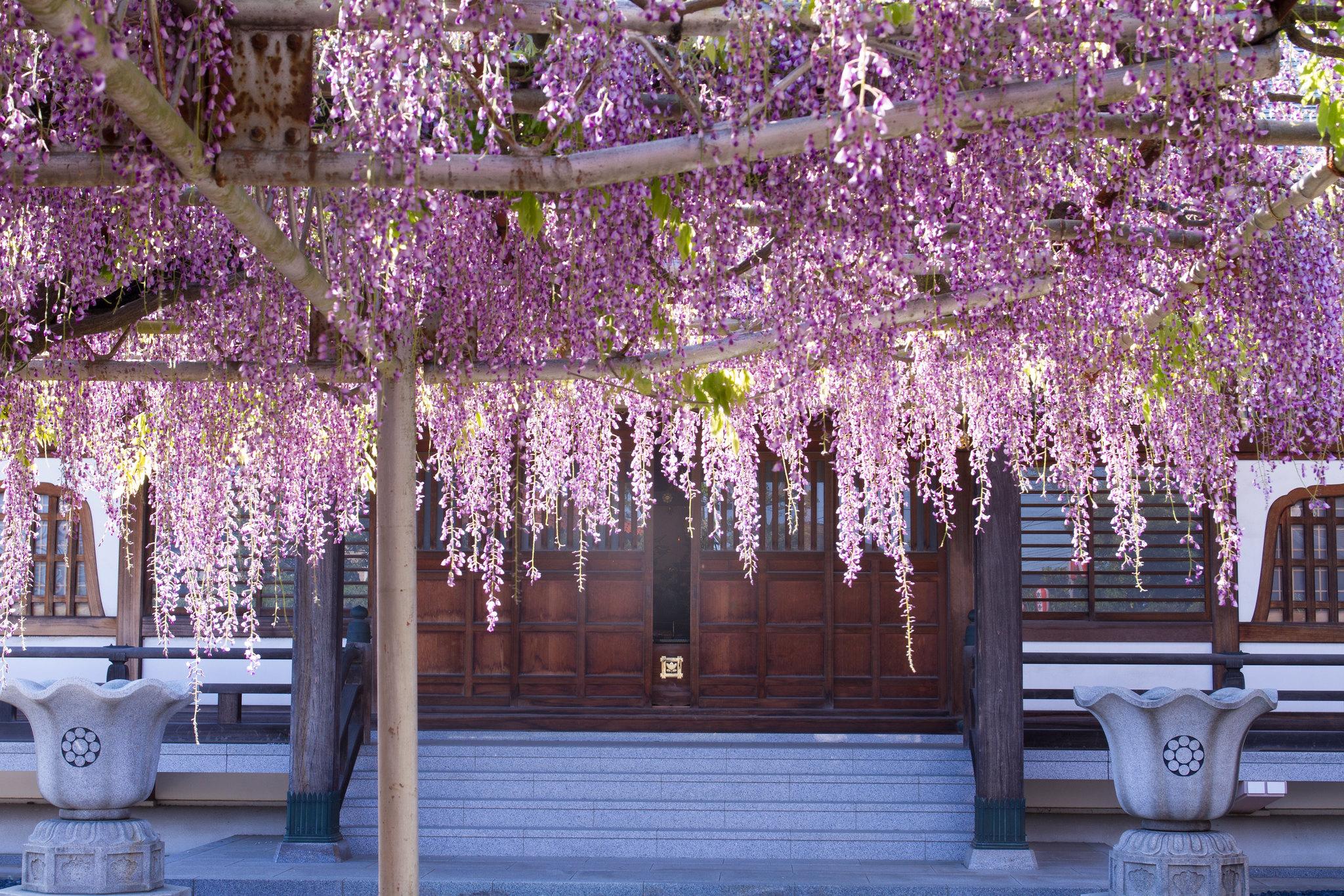 A wisteria garden