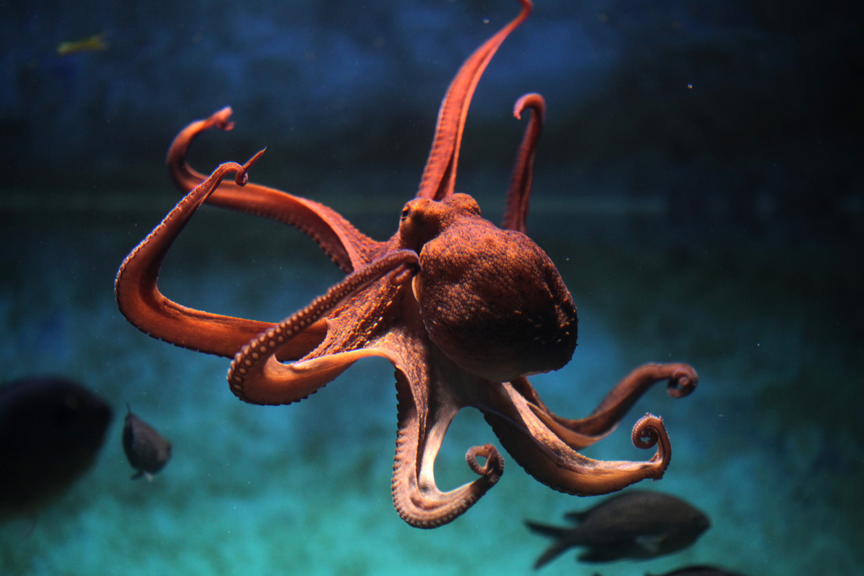 An octopus is photographed by an ocean photographer