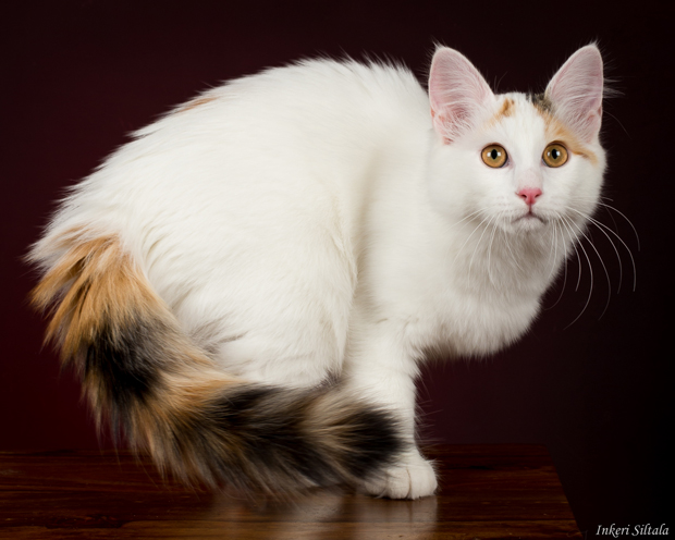 322089f74a Inkeri Siltala viaFlickr  CC BY NC-ND 2.0. The Turkish Van ...